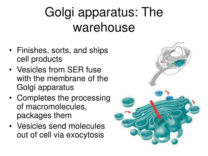 Golgi apparatus: The warehouse