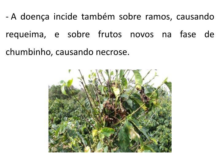 A doença incide também sobre ramos, causando requeima, e sobre frutos novos na fase de chumbinho, causando necrose.