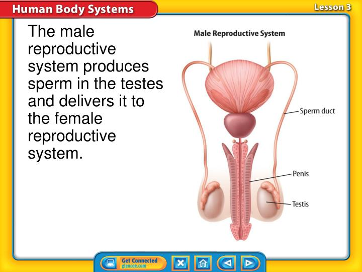 The male reproductive system produces sperm in the testes and delivers it to the female reproductive system.