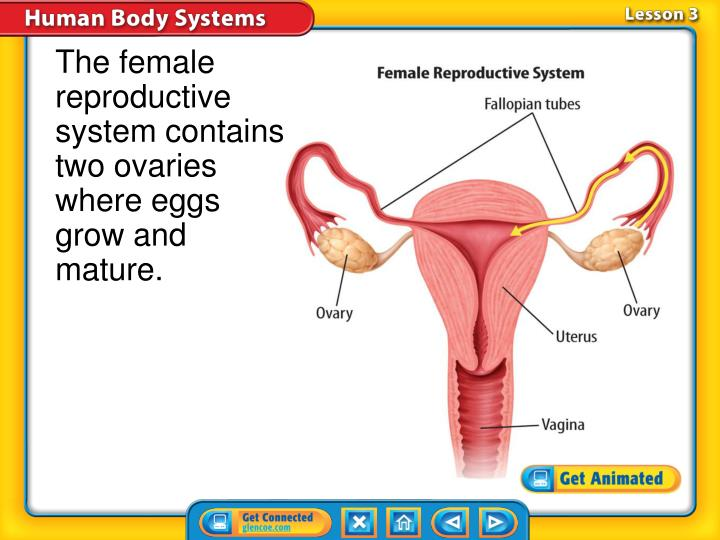 The female reproductive system contains two ovaries