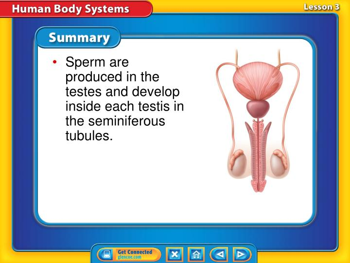 Sperm are produced in the testes and develop inside each testis in the seminiferous tubules.