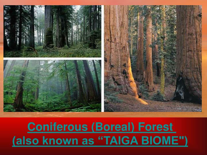 Coniferous (Boreal) Forest