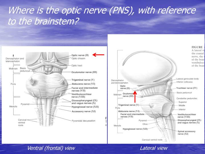 Where is the optic nerve (PNS), with reference to the brainstem?