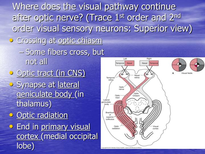 Where does the visual pathway continue after optic nerve? (Trace 1