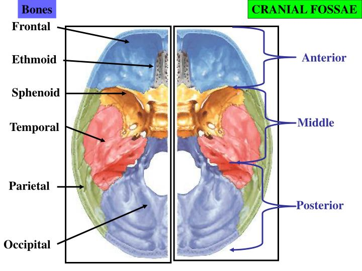 Ppt Cranial Cavity Powerpoint Presentation Id3995014