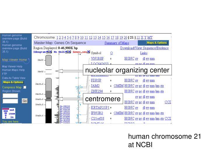 nucleolar organizing center