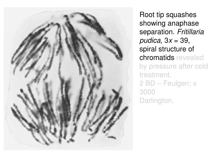Root tip squashes showing anaphase separation.