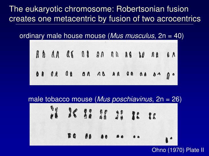 The eukaryotic chromosome: Robertsonian fusion