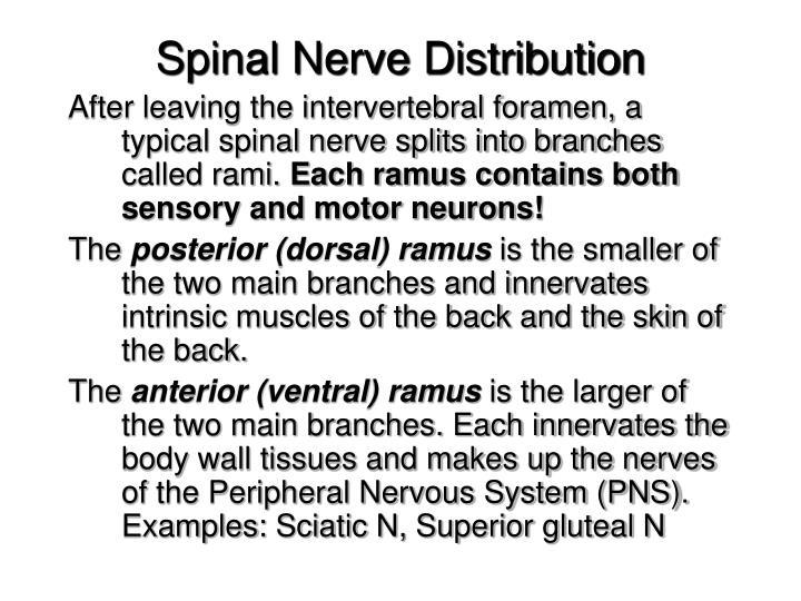Spinal Nerve Distribution