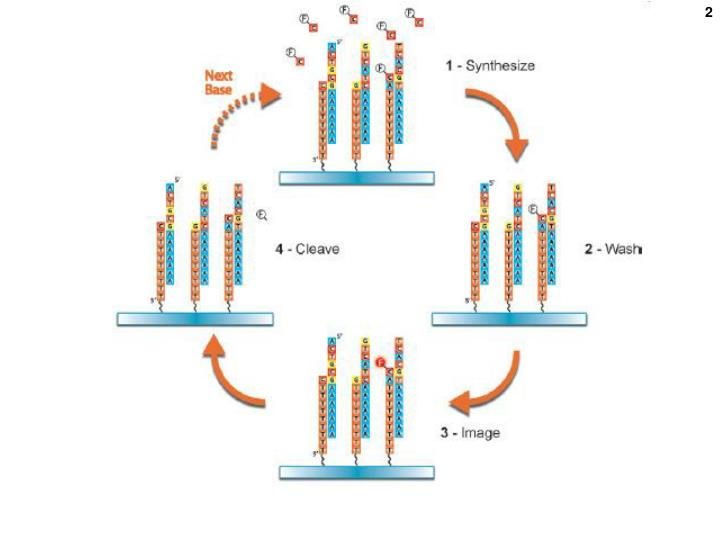 Like illumina but immobilized templates are ss dna molecules 200 nt