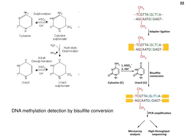 DNA methylation detection by bisulfite conversion