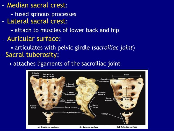 Lateral sacral crest
