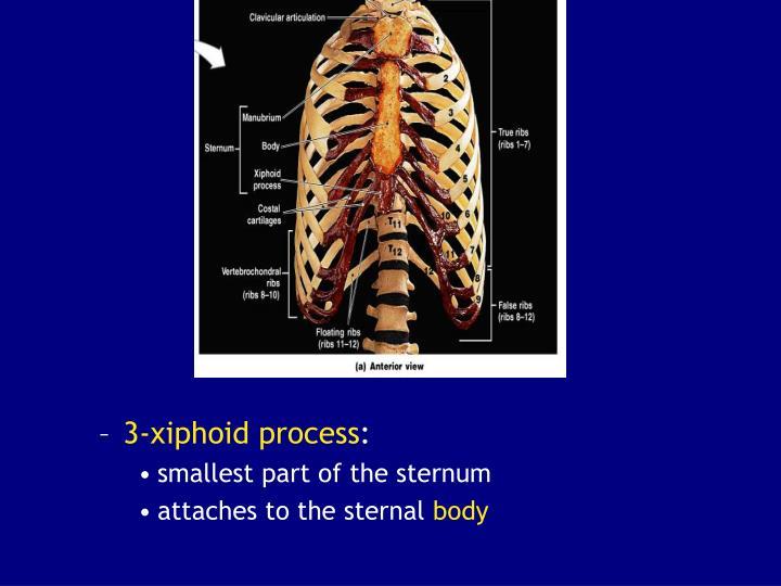 3-xiphoid process
