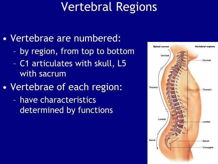 Vertebral Regions