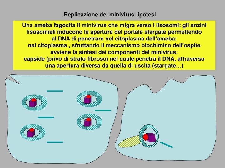 Replicazione del minivirus :ipotesi