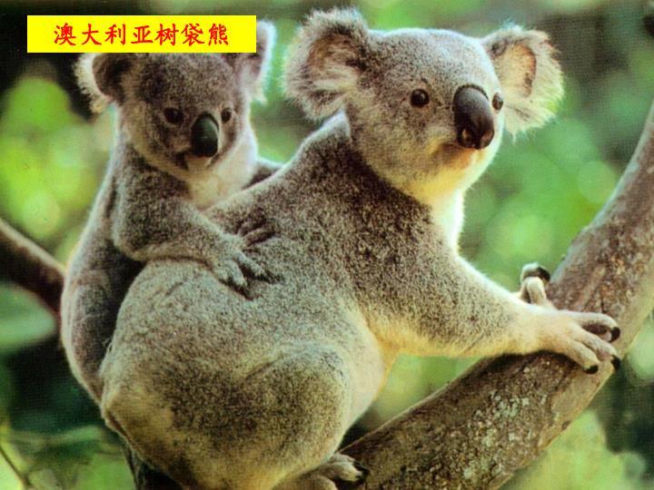 澳大利亚树袋熊
