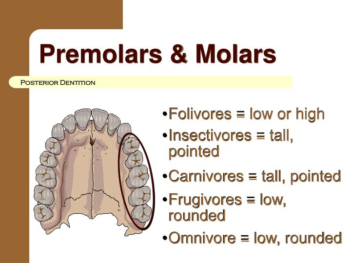 Premolars & Molars