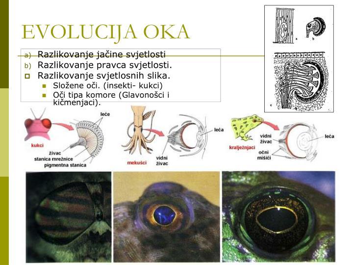 Evolucija oka