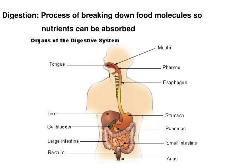 PPT - Digestion: Process of breaking down food molecules so ...