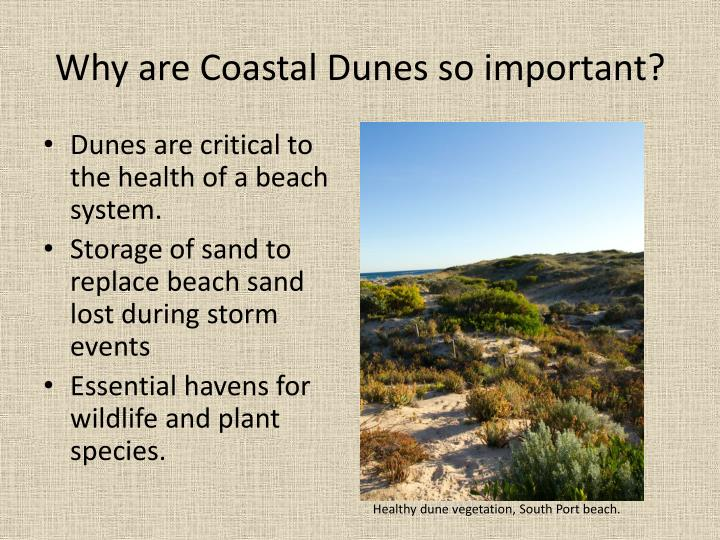 Why are coastal dunes so important