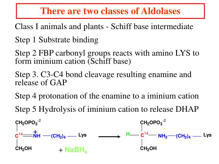 There are two classes of Aldolases