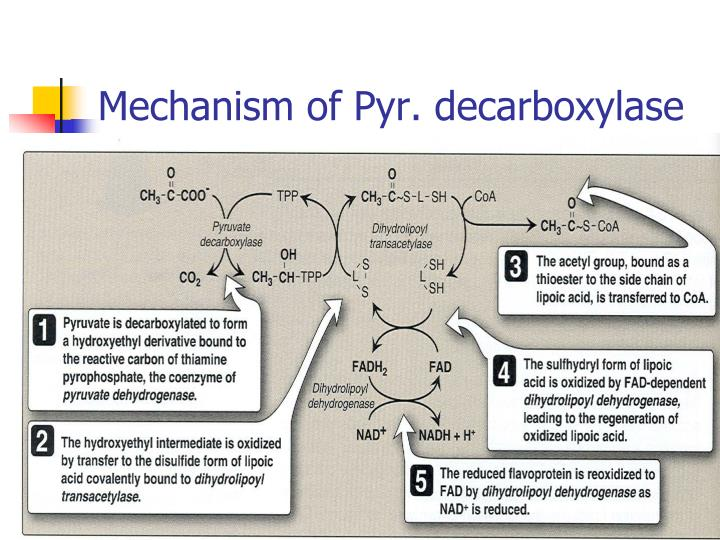 Mechanism of Pyr. decarboxylase