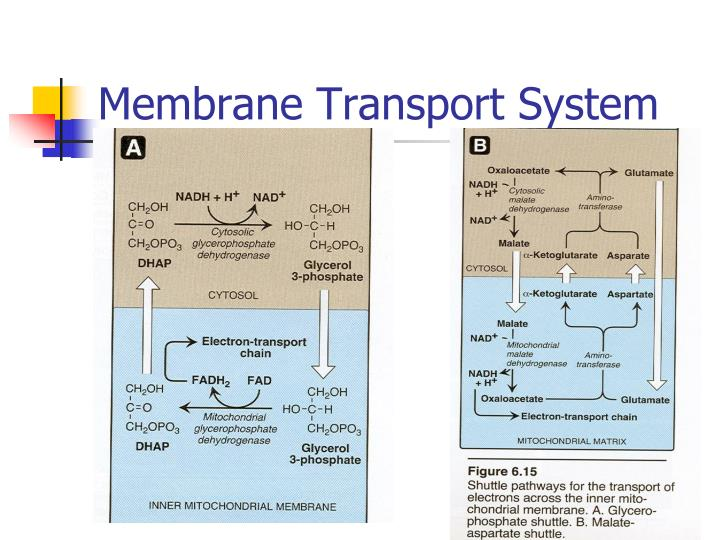 Membrane Transport System
