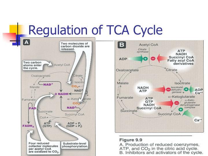 Regulation of TCA Cycle