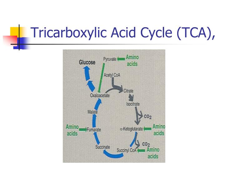 Tricarboxylic acid cycle tca