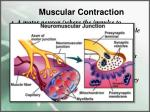 muscular contraction3