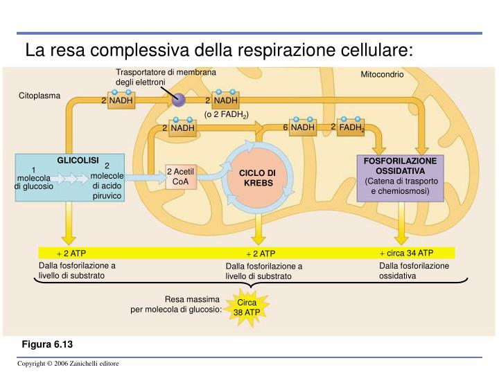 photosynthesis and respiration unit2 ip Unit 20 c nel photosynthesis and cellular respiration 177 4 match the following names to the labelled components of the leaf structure in figure 4 (one name per label) names: epidermis, guard cells, palisade tissue, spongy tissue, phloem, xylem.