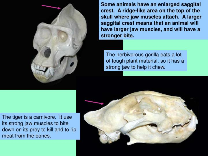Some animals have an enlarged saggital crest.  A ridge-like area on the top of the skull where jaw muscles attach.  A larger saggital crest means that an animal will have larger jaw muscles, and will have a stronger bite.