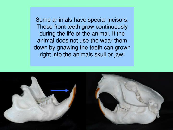Some animals have special incisors. These front teeth grow continuously during the life of the animal. If the animal does not use the wear them down by gnawing the teeth can grown right into the animals skull or jaw!