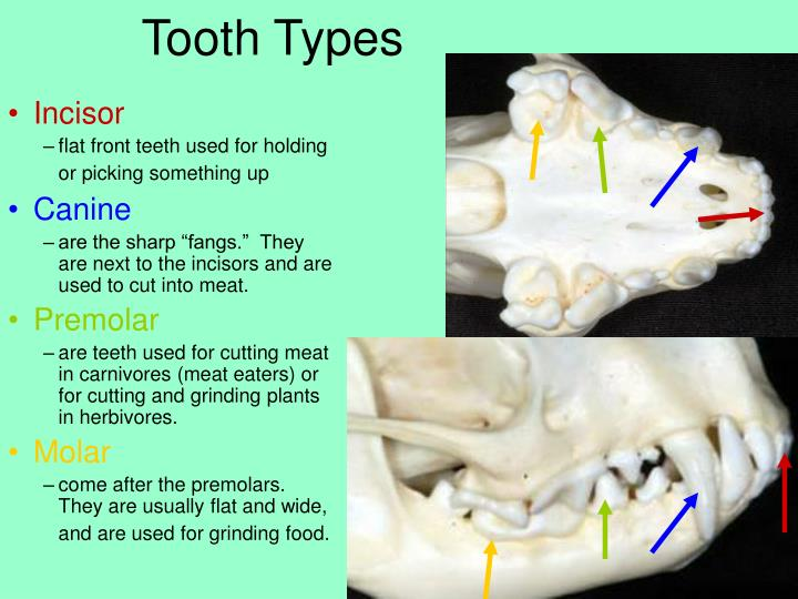 Tooth Types