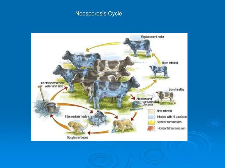 Neosporosis Cycle
