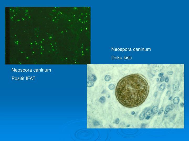 Neospora caninum