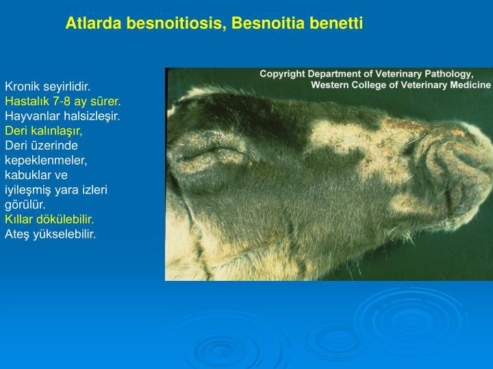 Atlarda besnoitiosis, Besnoitia benetti