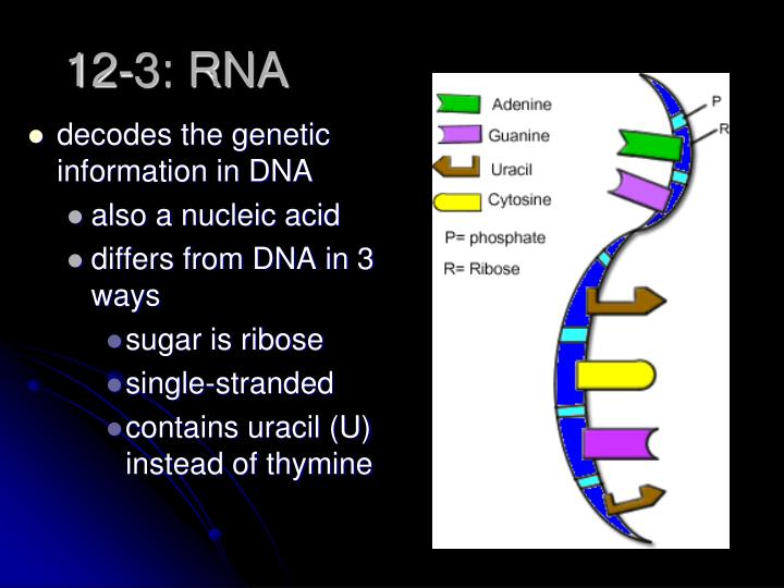 decodes the genetic information in DNA