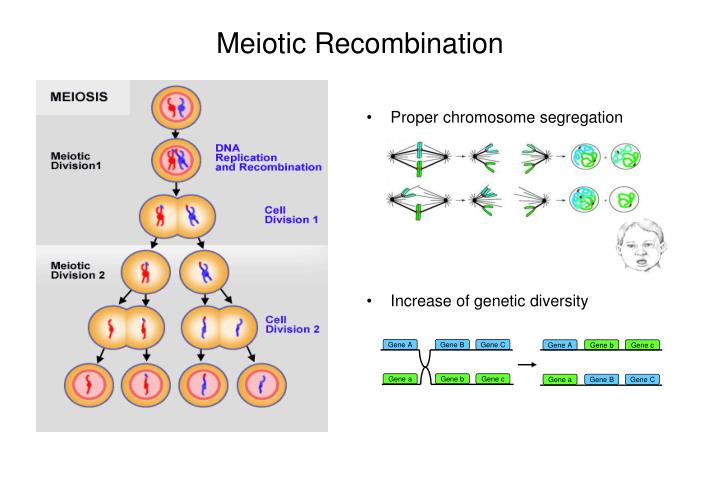 Proper chromosome segregation