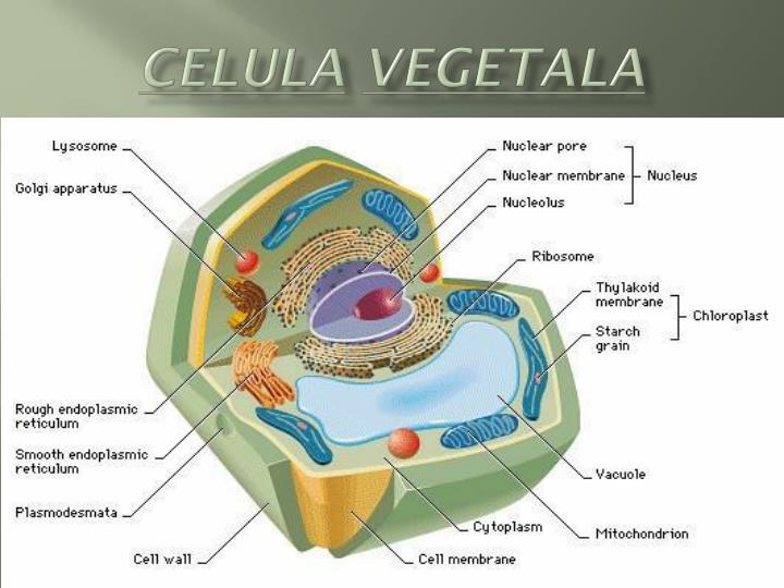 What Is An Animal Cell For Kids