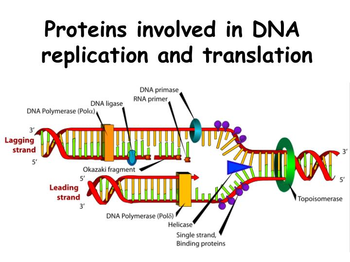 Proteins involved in DNA