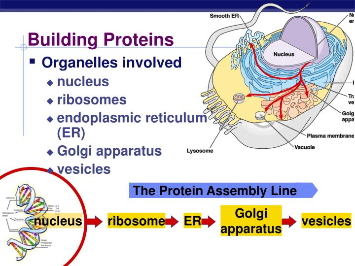 The Protein Assembly Line