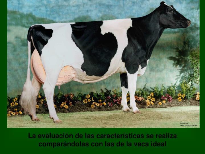 La evaluación de las características se realiza comparándolas con las de la vaca ideal