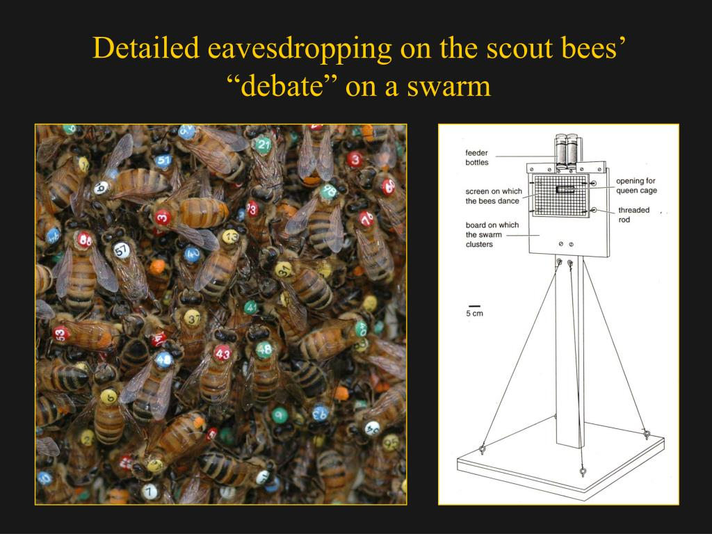 PPT - House hunting by honey bees a study of group decision
