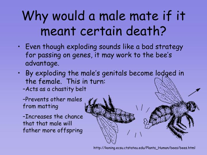 Why would a male mate if it meant certain death?