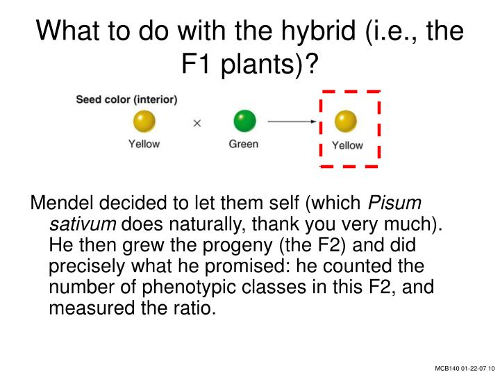 What to do with the hybrid (i.e., the F1 plants)?