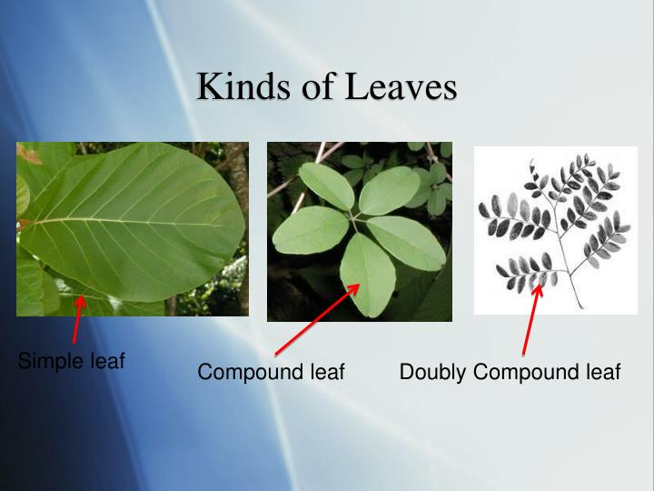 Kinds of Leaves