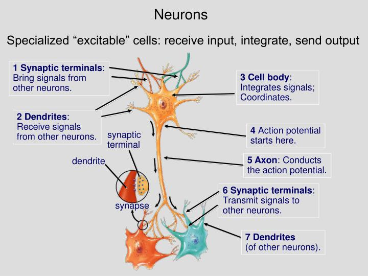 neuron structure and function pdf