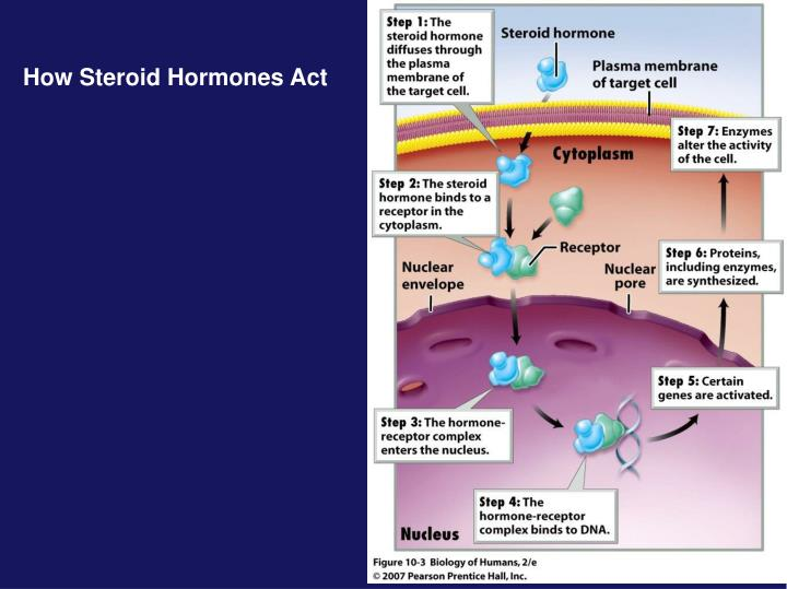 How Steroid Hormones Act