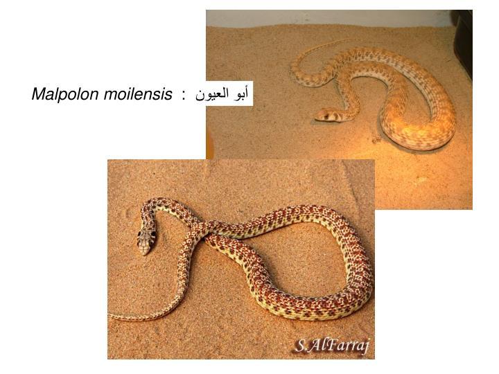 أبو العيون  :